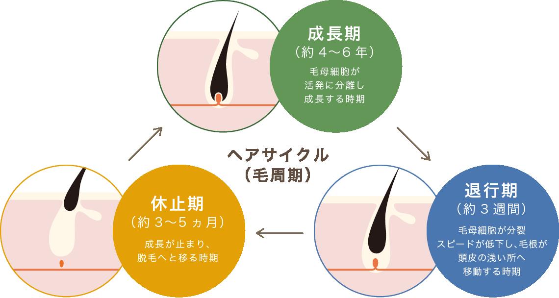 ヘアサイクル(毛周期)成長期(約4〜6年)毛母細胞が活発に分離し成長する時期 退行期(約3週間)毛母細胞が分裂スピードが低下し、毛根が頭皮の浅い所へ移動する時期 休止期(約3〜5ヶ月)成長が泊まり、脱毛へと移る時期